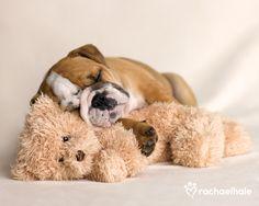 Lola (British Bulldog) - Lola's teddy is hers to keep and cuddle as she sleeps (pic by Rachael Hale)