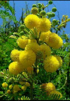 Acacia flowers.