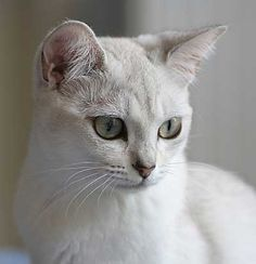The Burmilla    This cat breed is the result of a cross between Burmese and long-haired Chinchilla cats. The Burmilla is a very sociable breed.
