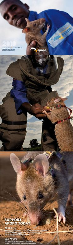 APOPO is awesome!!! Beautiful photos on HeroRAT's photostream on Flickr. Top photo by Yasuyoshi Chiba / AFP. Middle photo by Magnum Photos / Stuart Franklin.