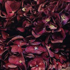 Я решила что цвет этой гортензии так хорошо сочетается с цветом лимонада на предыдущей фотке что надо непременно ее выложить пусть я и не придумала к ней никакой умной подписи #цветы #гортензия #флористика #соцветие #природа #свадьба #декор #букет #бордо #цвет #красота #вдохновение #inspiration #vscocam #nature #wedding #bouquet #hydrangea #colour #beautyful #flowers #florist #tender #blossom by karina_ili