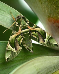457 - Oleander Hawk Moth by retnos2602 - Away from home..., via Flickr