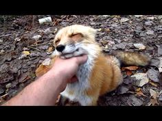 Pretty amazing to see this beautiful animal up close. He's like a cross between a dog and a cat. You can really see his personality, especially the last 20 seconds.  . ▶ Fox go FLOOF - YouTube