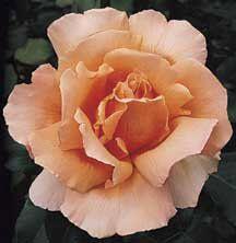 Just Joey Hybrid Tea Rose | Hybrid Tea Roses | Edmunds' Roses