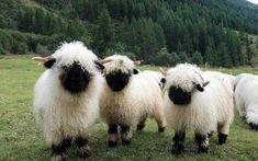 Like Animals, Cute Baby Animals, Farm Animals, Animals And Pets, Fluffy Cows, Fluffy Animals, Valais Blacknose Sheep, Cute Sheep, Baby Sheep