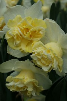 """Narcissus """" Popeye """""""