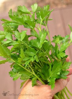 Parsley is an easy to grow, cold hardy herb you can enjoy all summer. Harvesting parsley is easy, cut or pinch off each sprig at the base of the plant. Growing Herbs, Growing Vegetables, Parsley Growing, Gardening For Beginners, Gardening Tips, Sustainable Gardening, Vegetable Gardening, Parsley Plant, Spice Garden