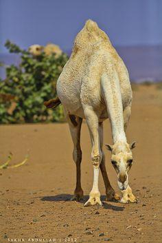 Arabian Art, Desert Design, Desert Life, Middle East, Deserts, Friends, Awesome, Photography, Camels