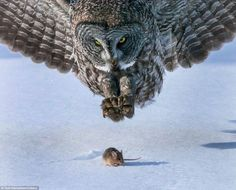 Owl is about to give this mouse the business : natureismetal
