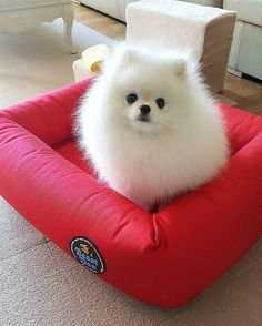 This adorable pomeranian puppy will brighten your day. Dogs are awesome companions. Cute Little Puppies, Cute Little Animals, Cute Dogs And Puppies, Cute Funny Animals, Baby Dogs, Pet Dogs, Dog Cat, Pets, Doggies