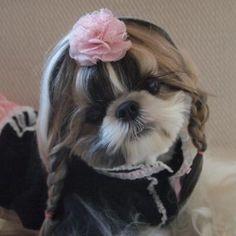 Dogs grooming styles shih tzu 53 Ideas for 2019 Shih Tzu Mix, Shih Tzu Puppy, Shih Tzus, Dog Grooming Styles, Pet Grooming, Cute Puppies, Cute Dogs, Dogs And Puppies, Brown Shih Tzu