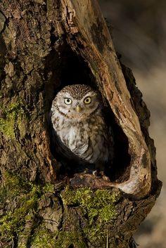 Little Owl / Athenae Noctua. Owl Photos, Owl Pictures, Cute Animal Pictures, Owl Bird, Pet Birds, Beautiful Birds, Animals Beautiful, Tree Of Life Artwork, Burrowing Owl