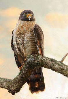 Gavião-carijó | Roadside Hawk (Rupornis magnirostris) by Rosa Gamboias/ away chasing the sun**