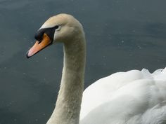 Swan on Sankey valley canal