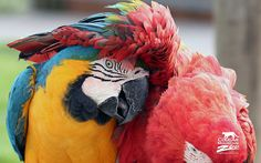 Best Friends Macaws - https://www.highdefwallpaper.com/animals/best-friends-macaws/ Best Friends Macaws is an HD wallpaper posted in animals category. You can download Best Friends Macaws HD wallpaper for your desktop, notebook, tablet or phone or you can edit the image, resize, crop, frame it so that will fit on your device.