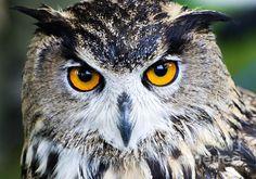 Fine Art eagle Photography | eagle-owl--bubo-bubo-floorone-photography.jpg