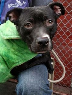 TO BE DESTROYED - 04/27/14 Manhattan Center -P  My name is ATOM. My Animal ID # is A0996965. I am a male black and white pit bull. The shelter thinks I am about 1 YEAR 2 MONTHS old.  I came in the shelter as a STRAY on 04/17/2014 from NY 10474, owner surrender reason stated was STRAY. I came in with Group/Litter #K14-174243.