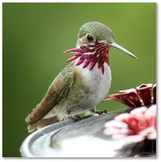 Hummingbird. The first time I saw one of these at the feeder, I thought it was cut and bleeding.