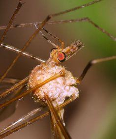 Family Tipulidae - Large Crane Flies