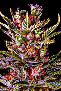 Weed   Marijuana   Cannabis : Photo