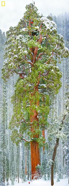 Giant Sequoia President 247' Tall - National Geographic Mag.