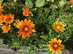 """Gazania rigens 'Kiss Mix' Zone: Annual Height: 6-12"""" x 6-12"""" Light Needs: Full Sun A colorful drought tolerant mounded annual that prefers well-drained soil. Attractive to bees, butterflies, and birds. Possesses blue green-foliage and daisy-like flowers with ranges of yellow, gold, orange, and bronze that open up as the sun brightens throughout the day. The annual flowers from late Spring until Mid-Fall with repeat blooming. Great as a groundcover or in a container."""