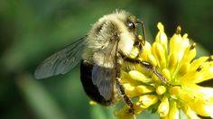 Nova pesquisa aponta que os zangões analisam as condições do vento e decidem se devem transportar pólen ou néctar para a colmeia.