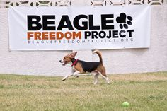 This Group Provides Hope For Dogs Used In Animal Testing - AngusPost