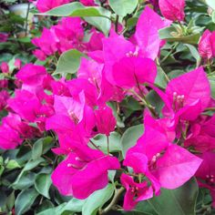 Bougainvillea or Paper Flowers - Blooms indoor in Spring then outdoors in Summer