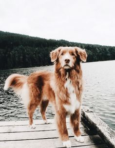 More About The Trustworthy Golden Retriever Dogs Cute Baby Animals, Animals And Pets, Funny Animals, Cute Dogs And Puppies, I Love Dogs, Doggies, Cute Fluffy Dogs, Tiny Puppies, Fluffy Puppies