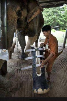 Elephant amputee