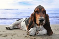 The+35+Most+Basset-Hound+Things+To+Happen+In+The+History+Of+Basset+Hounds