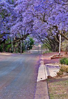 Jacaranda trees, Pretoria, South Africa   Daleen Loest, 123RF So beautiful.
