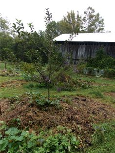 Young apple tree Permaculture food forest mulching building soil for fruit trees Permaculture Principles, Permaculture Design, Permaculture Garden, Vegetable Gardening, Forest Garden, Garden Path, Dogwood Trees, Garden Shrubs, Farm Gardens
