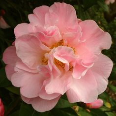 Camellia hybrid 'Dr. Louis Polizzi' (U.S., 1959)