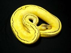 Calico Champagne Pastel Ball Python Snake