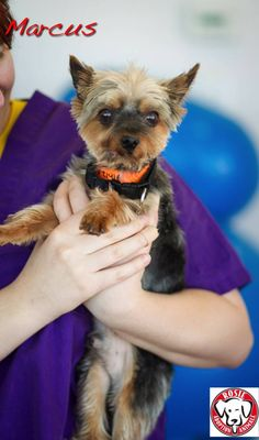 Marcus the Yorkie Male Age:9 - 10 yrs old Size:Miniature Weight:to follow Breed:Yorkie With Dogs:Yes With Cats:TBD With Children:Over 16 years old To be considered for adoption you must fill out an application, be approved and be able meet the dog in person We are located in the MTL, Canada region. Foster Family, 16 Year Old, Foster Care, Medical Care, Happily Ever After, Yorkie, Pet Adoption, Fill, Miniature