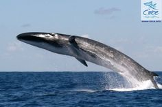 Spectacular Fin Whale Breach - Massive cetacean makes like a surface-to-air missile in Strait of Gibraltar; 'Rarely observed and even more rarely captured on camera'