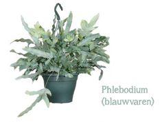De 7 hipste hangplanten als blikvanger thuis of op kantoor | Storyplanter Herbs, Plants, Om, Herb, Plant, Planets, Medicinal Plants