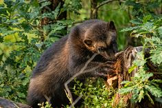 Wolverine (Gulo gulo). Norway. Photo by  Kenneth Gjesdal (at https://www.flickr.com/photos/gjesdal/9713619618/).