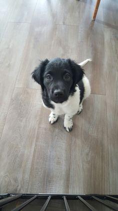 Stabyhoun stabijhoun puppy