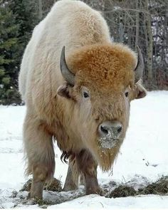 Rare white bison.
