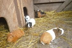 Gemeinsam mit den Meerschweinchen haben die Hasen ein Quartier am Habachklause-Bauernhof. Animals, Pony Rides, Petting Zoo, Guinea Pigs, Animales, Animaux, Animal, Animais
