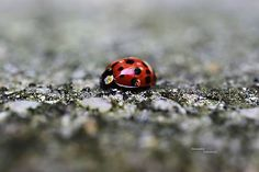 Lienka ladybird