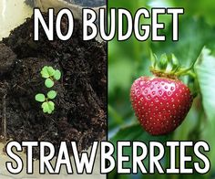 No Budget Strawberries