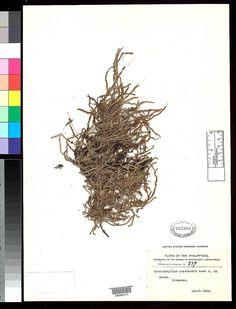 Taeniophyllum copelandii