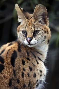 Big Cats, Cool Cats, Cats And Kittens, Savannah Kitten, Savannah Chat, Farm Animals, Cute Animals, Serval Cats, Exotic Cats