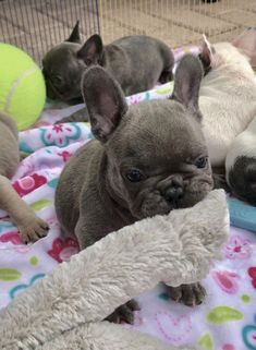 Frenchbulldogsblue Buldog French Bulldog Blue French Bulldog