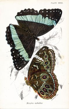 Morpho Achilles butterfly, vintage chromolithograph print reproduction