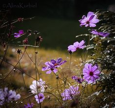 garden cosmos by alinakurbiel